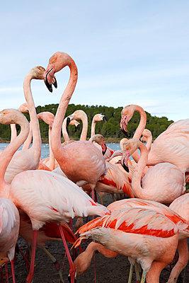 Flamingos - p1105m2145186 by Virginie Plauchut