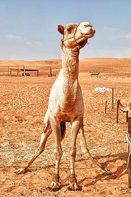 Camel - p631m913065 by Franck Beloncle