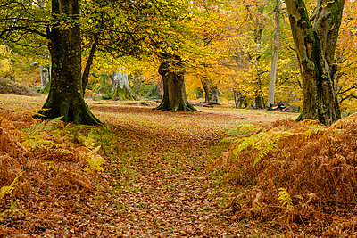 Beech trees and bracken in autumn colour, New Forest National Park, Hampshire, England, United Kingdom - p871m2068769 by Roy Rainford