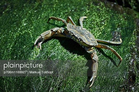 Krabbe - p706m1169927 von Markus Tollhopf