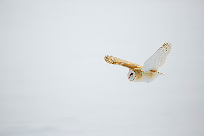 Barn owl in flight over snow - p1427m2128271 by Jeff Greenough