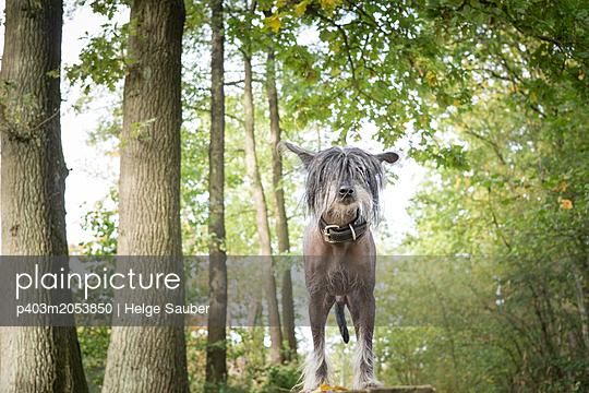 Hundeporträt - p403m2053850 von Helge Sauber
