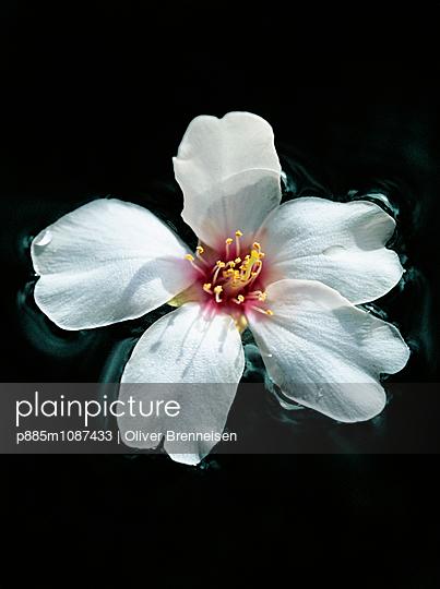 Almond blossom - p885m1087433 by Oliver Brenneisen