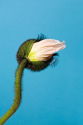 Flower mit eyelashes - p801m2065381 by Robert Pola