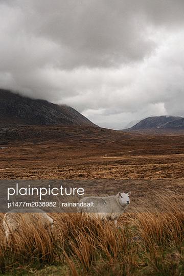 Sheep in the Scottish Highlands - p1477m2038982 by rainandsalt