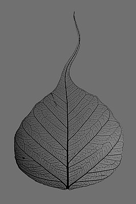 Leaf vein - p415m1149742 by Tanja Luther