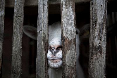 Ziege im Stall - p5864715 von Kniel Synnatzschke