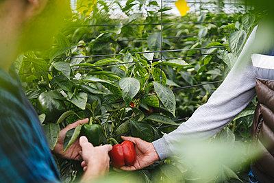Crop view of men harvesting bell peppers in a greenhouse, Almeria, Spain - p300m2160625 von Manu Padilla Photo