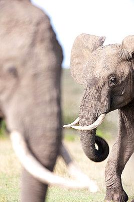 Two african elephants - p533m1215502 by Böhm Monika