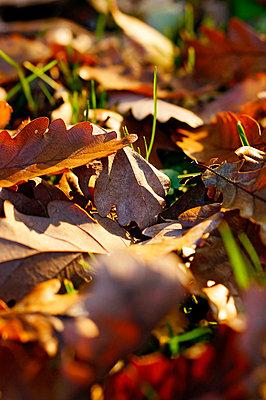 Germany, North Rhine-Westphalia, Minden, oak leaves - p300m873445f by Fotomaschinist