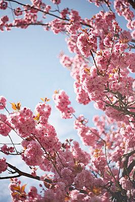 Kirschblüte - p4641089 von Elektrons 08