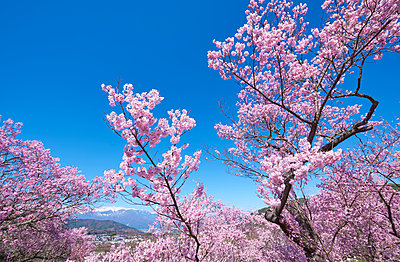 Cherry blossoms in full bloom at Takato castle park, Nagano Prefecture, Japan - p307m1495905 by MATSUO.K