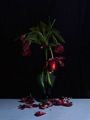 Withered Tulips - p444m898551 von Müggenburg
