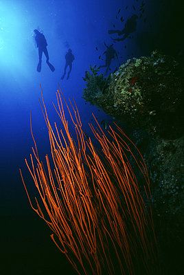 Orange Whip Coral with four divers in background - p6440730 by Alex Misiewicz