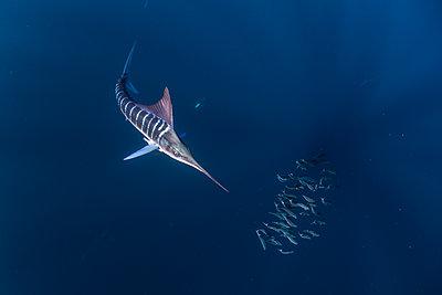Striped marlin hunting mackerel and sardines - p429m2068755 by Rodrigo Friscione