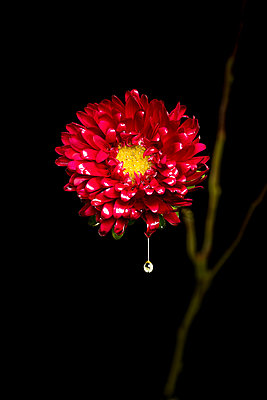 yellow and red matsumoto aster flower with dripping liquid and green branch against black background  - p919m2204188 by Beowulf Sheehan