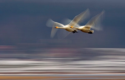 Side shot of two whooper swans with blurred wings against blurred background - p1025m789242f by Torbjörn Arvidson
