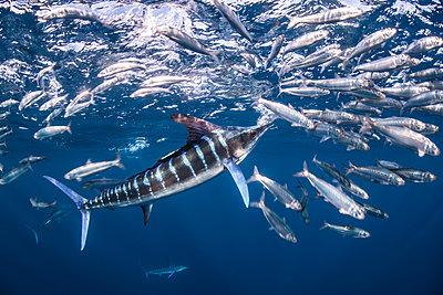 Striped marlin hunting mackerel and sardines - p429m2068767 by Rodrigo Friscione