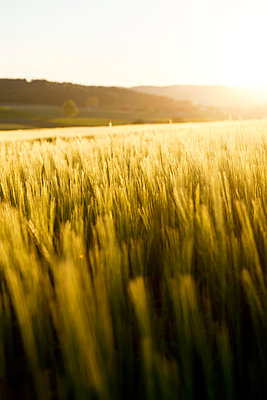 Wheat field at sunset - p533m1525213 by Böhm Monika