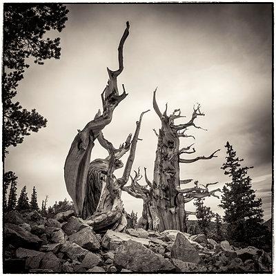 Vintage bristlecone pines - p1154m1217567 by Tom Hogan