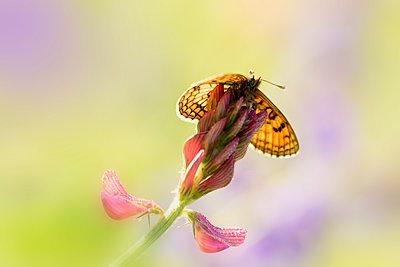 Brown butterfly on flower - p300m2005669 von Brigitte Stehle