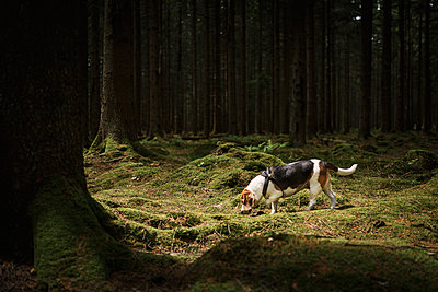 Beagle in forest - p312m1470275 by Karl Forsberg
