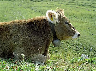 Schweizer Kuh - p6060243 von Iris Friedrich