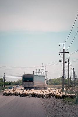 Sheep flock surrounds truck - p795m1592086 by JanJasperKlein