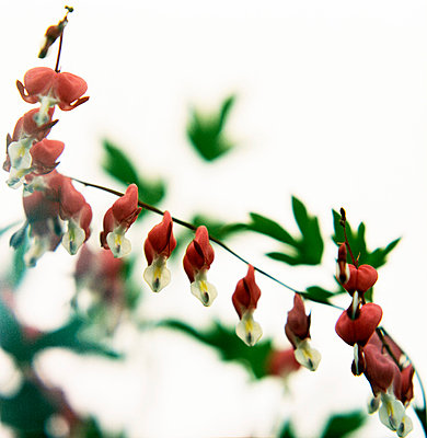 Bleeding Heart, flower aigainst white background (Löjtnantshjärta, blomma mot vit bakgrund) - p847m673044 by Ulf Lundin