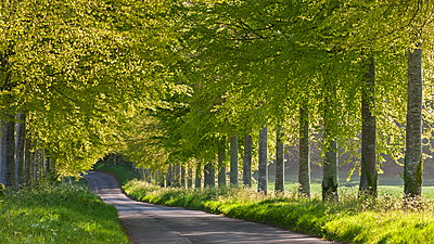 Tree lined country lane in springtime, Dorset, England, United Kingdom, Europe - p871m962075 by Adam Burton