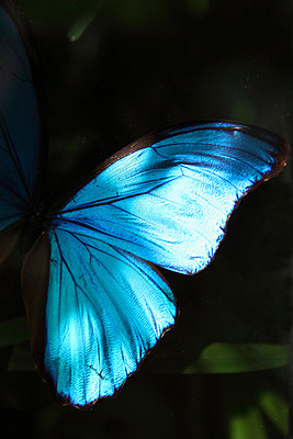 Butterfly wings - p045m904706 by Jasmin Sander