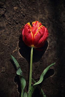 Tulips - p1054m2278029 by Maria Kazvan