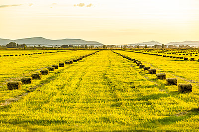 Rows of hay bales in field in Picabo, Idaho, USA - p1427m2136062 by Steve Smith