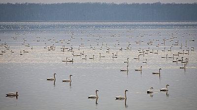 Swan Lake - p1480m2229478 by Brian W. Downs