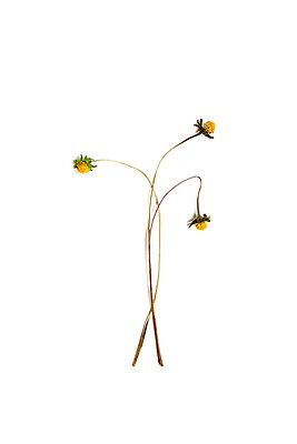 Blumen - p1021m1445936 von MORA