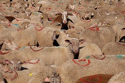 Sheep - p522m894190 by Pauline Ruhl Saur
