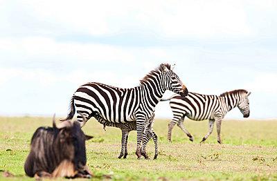 Zebras and wildebeest - p533m1225550 by Böhm Monika