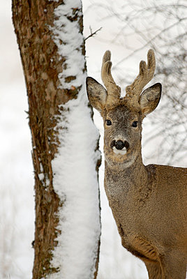 A roebuck in the snow Sweden - p5750139f by Stefan Ortenblad