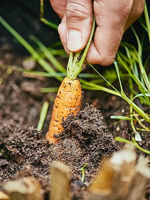 Harvesting carrots - p962m2175418 by Robert Schlossnickel