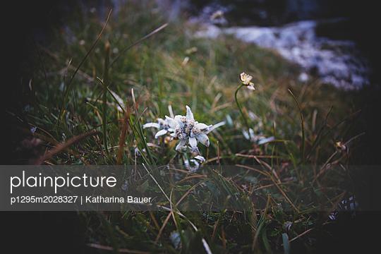 Edelweiss  - p1295m2028327 von Katharina Bauer