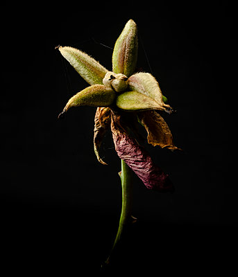 Withered flower - p1088m2116310 by Martin Benner