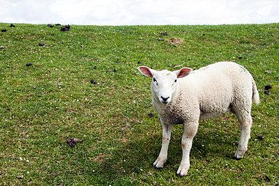 Lamm auf dem Deich - p754m1590110 von Valea Diller-El Khazrajy