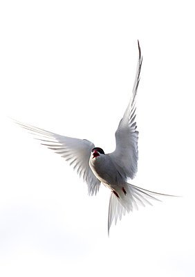 Arctic Tern calling in flight - p884m864096 by Matthias Breiter