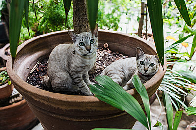 Two cats in flowerpot - p728m2219748 by Peter Nitsch