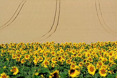 Cereals field - p813m857014 by B.Jaubert
