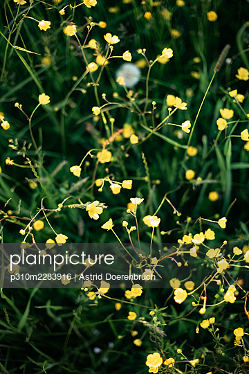 Buttercups - p310m2283916 by Astrid Doerenbruch