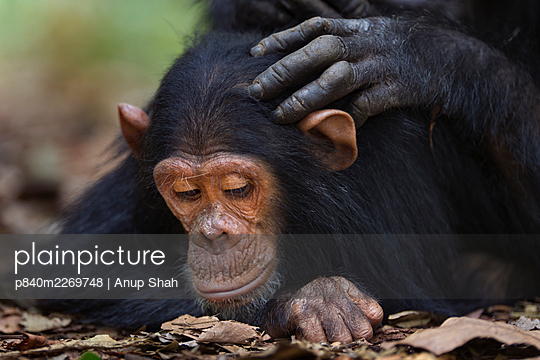 Eastern chimpanzee (Pan troglodytes schweinfurtheii) infant make 'Google' aged 5 years being groomed . Gombe National Park, Tanzania. September 2014. - p840m2269748 by Anup Shah