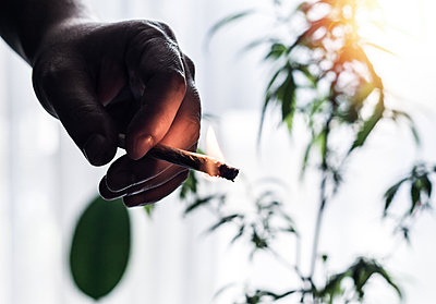 Hand of young Man holding burning Marijuana Joint against Cannabis plant - p1166m2255842 by Cavan Images