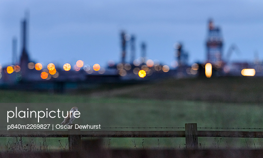 Barn owl (Tyto alba) perched on fence post at dusk, with industrial estates of Teeside in the background. Durham, UK. February - p840m2269827 by Oscar Dewhurst