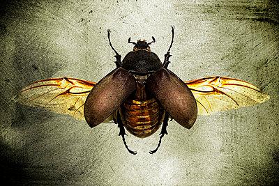 Käfer breitet Flügel aus - p4150648 von Tanja Luther